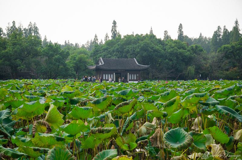 杭州西湖十景_曲院風荷