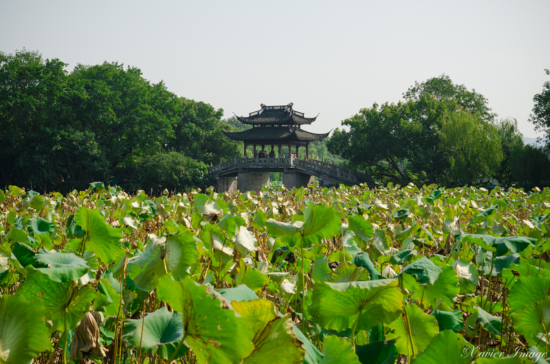 杭州西湖十景_曲院風荷 7