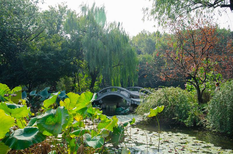 杭州西湖十景_曲院風荷 10