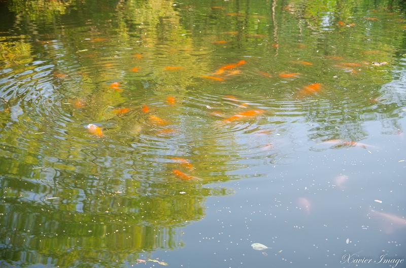 杭州西湖十景_花港觀魚_紅魚池 6