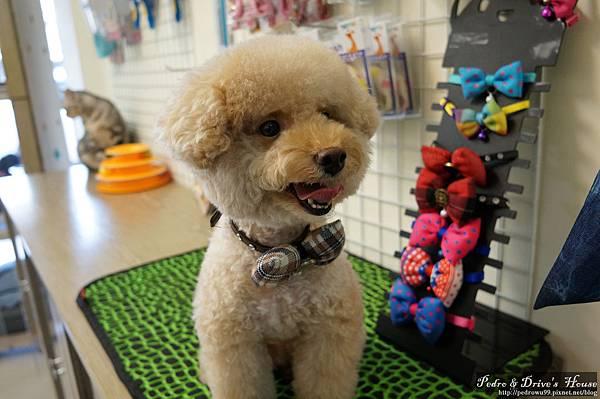 澎湖商家-犬宇宙寵物pedro0360.jpg