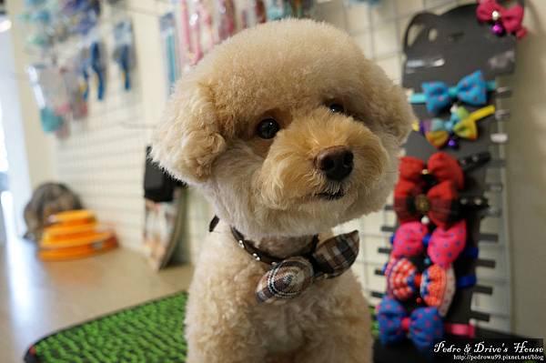 澎湖商家-犬宇宙寵物pedro0362.jpg