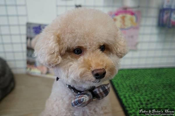 澎湖商家-犬宇宙寵物pedro0368.jpg