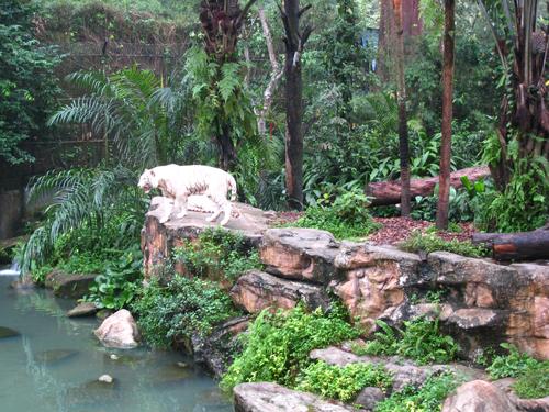 20070916 新加坡動物園-白老虎