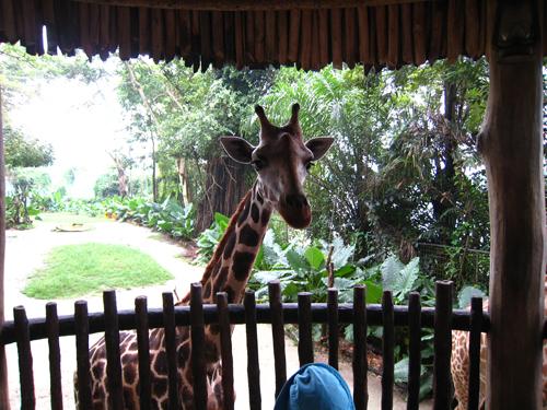 20070916 新加坡動物園-長頸鹿