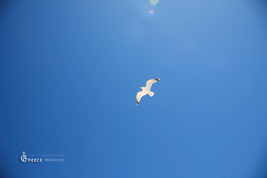 在米克諾斯追海鷗