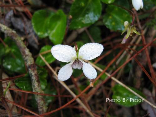 像蝴蝶的小花