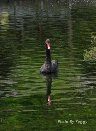 至善園-黑天鵝