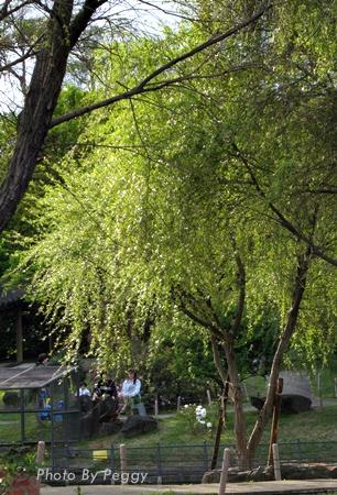 至善園-柳樹