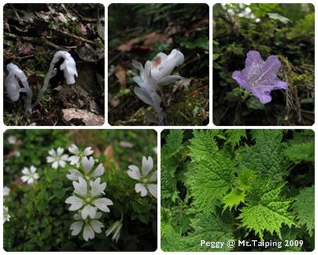 太平山的小花 & 植物