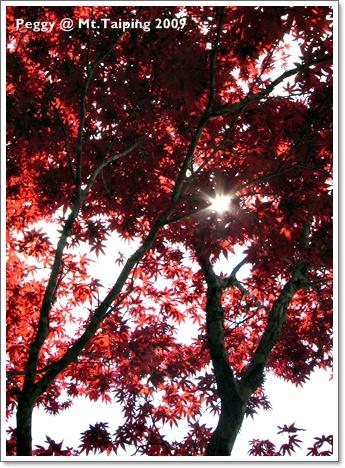 太平山槭樹紅了(1)