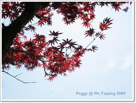 太平山槭樹紅了(2)