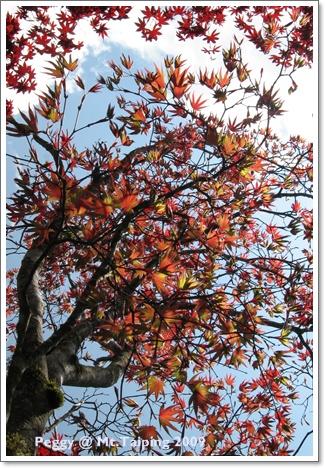 太平山槭樹紅了(3)
