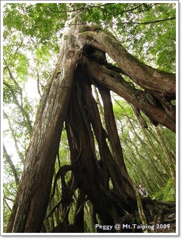 前往三疊瀑布途中的大樹