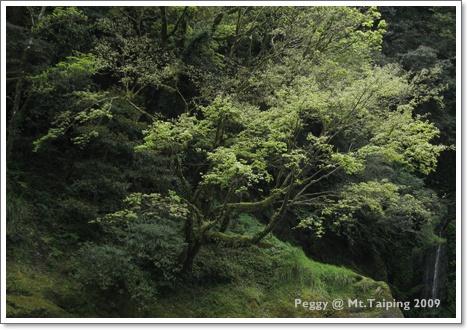 三疊瀑布第一層-有FU的樹