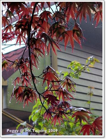 太平山槭樹紅了(4)