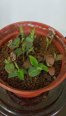 花梨種子盆裁