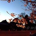 知恩院 -- 院外看到襯著暮色的櫻花