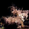 円山公園 -- 夜櫻 (2)