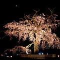 円山公園 -- 夜櫻 (3)