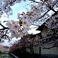 インクライン (蹴上鐵道遺跡) -- 櫻花 (5)