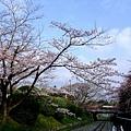 インクライン (蹴上鐵道遺跡) -- 櫻花 (7)