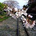 インクライン (蹴上鐵道遺跡) -- 櫻花 (8)