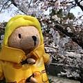 インクライン (蹴上鐵道遺跡) -- 柏寧頓小熊與櫻花留影 (1)