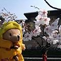 インクライン (蹴上鐵道遺跡) -- 柏寧頓小熊與櫻花留影 (2)