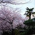 平野神社 -- 櫻花 (1)