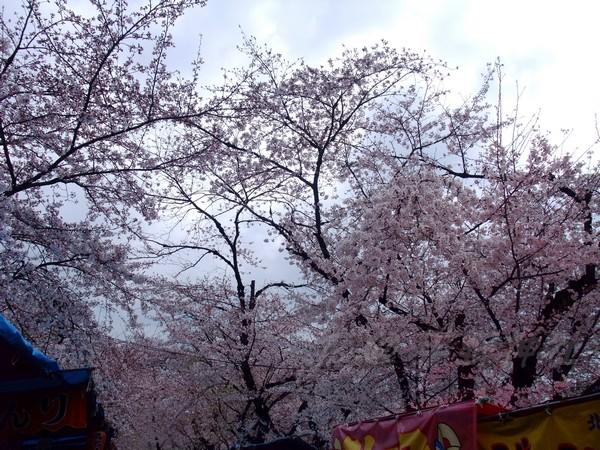 平野神社 -- 櫻花 (3)