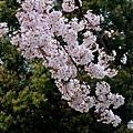 平野神社 -- 櫻花 (4)
