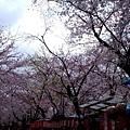 平野神社 -- 櫻花 (5)