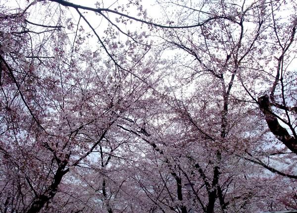 平野神社 -- 櫻花 (7)