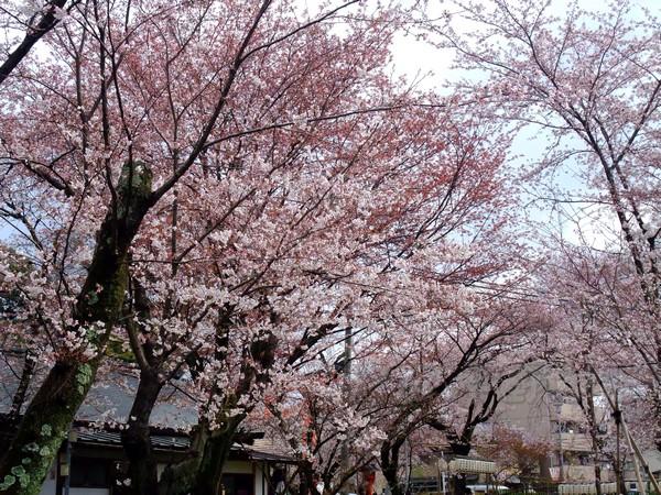 平野神社 -- 櫻花 (8)