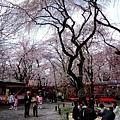 平野神社 -- 櫻花 (9)