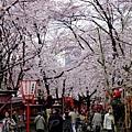 平野神社 -- 櫻花 (10)