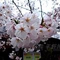 平野神社 -- 櫻花 (12)