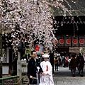 平野神社 -- 櫻花下的新婚夫妻