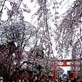 平野神社 -- 櫻花 (17)