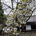平野神社 -- 櫻花 (18)