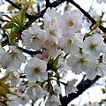 平野神社 -- 櫻花 (19)