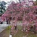 平野神社 -- 櫻花 (20)