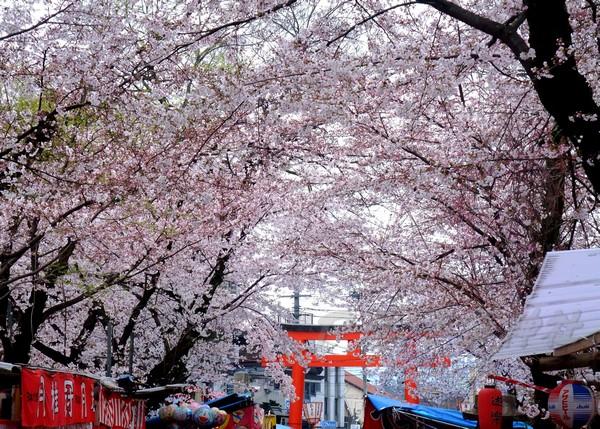平野神社 -- 櫻花 (22)