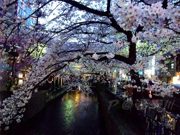 高瀨川 -- 櫻花 (2)
