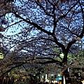 高瀨川 -- 櫻花 (3)