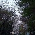 清水寺 -- 櫻花 (6)