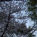 清水寺 -- 櫻花 (7)