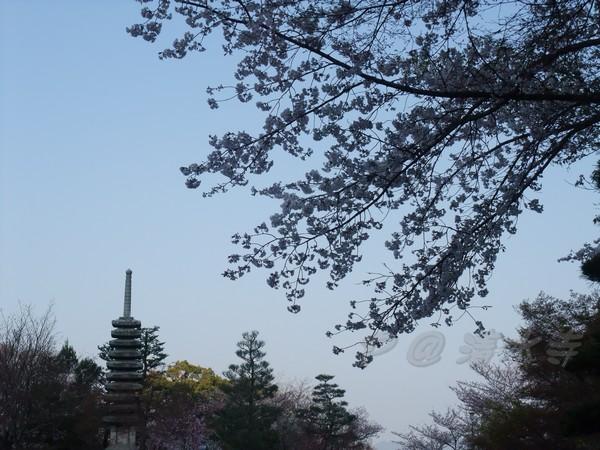 清水寺 -- 櫻花 (8)