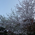 清水寺 -- 櫻花 (9)